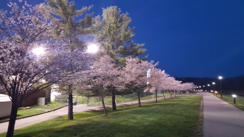 Cherry_blossoms2